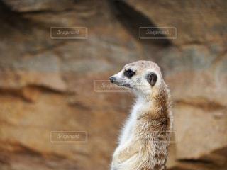 岩の上に立っているシロクマの写真・画像素材[850268]