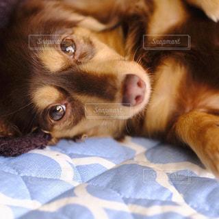 近くにベッドの上で横になっている犬のアップの写真・画像素材[849720]