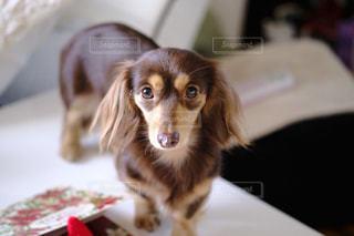 テーブルの上に座っている犬の写真・画像素材[849785]