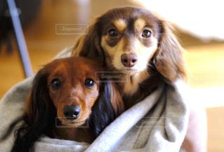 カメラを見て小型犬の写真・画像素材[849786]