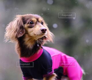s 口紫フリスビーのそれを身に着けている犬の写真・画像素材[849936]