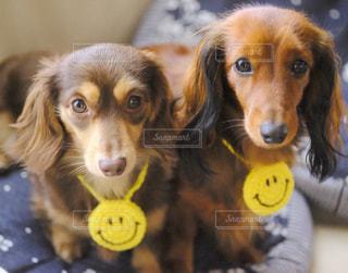 s 口に黄色のフリスビーを保持犬の写真・画像素材[849938]
