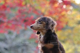 近くに犬のアップの写真・画像素材[850432]