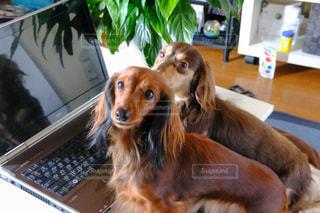 ノート パソコンのキーボードの上に横たわる犬の写真・画像素材[850436]