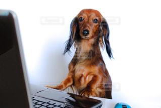 ラップトップ コンピューターの前に座っている犬の写真・画像素材[850437]