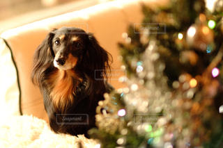 カメラを見て犬の写真・画像素材[850576]