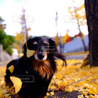 黒と茶色の犬の写真・画像素材[850577]