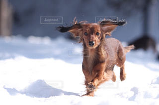 雪の中で座っている犬の写真・画像素材[850579]