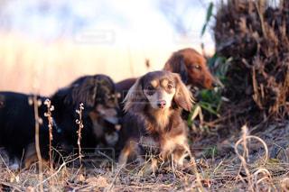 干し草の山の横に茶色の犬立っての写真・画像素材[850580]
