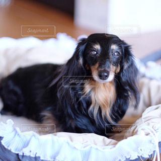 ベッドの上に横たわる犬の写真・画像素材[850582]