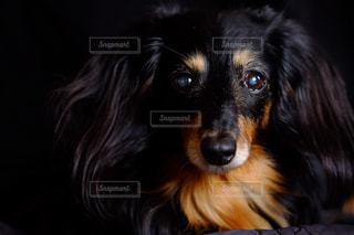 カメラを見て、茶色と黒犬の写真・画像素材[850584]