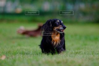 草の中を走っている茶色と黒犬の写真・画像素材[850585]