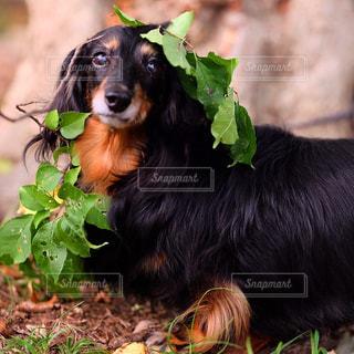 草の上に横たわる黒犬の写真・画像素材[850608]