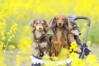 草の中に座っている犬の写真・画像素材[857691]