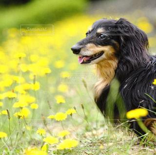 草に黄色と黒の犬立っています。の写真・画像素材[857692]
