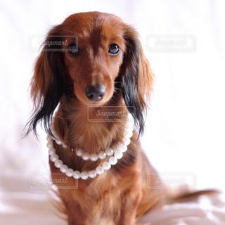カメラを見て茶色と白犬の写真・画像素材[857694]