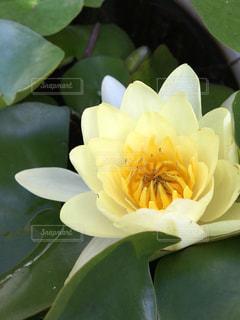 睡蓮の花 - No.853043