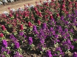 大きな紫色の花は、庭 - No.1049013