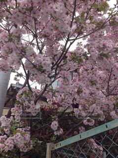 ピンクの花の木 - No.1128881