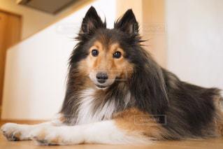 モデル犬の写真・画像素材[910034]