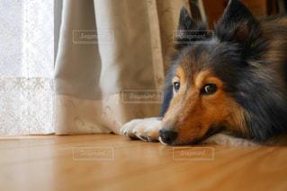 横になって、カメラを見ている犬の写真・画像素材[1830480]