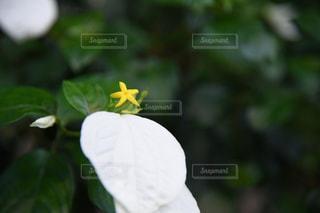 黄色い妖精の写真・画像素材[1848716]