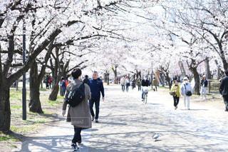 桜並木に身を寄せての写真・画像素材[2054286]