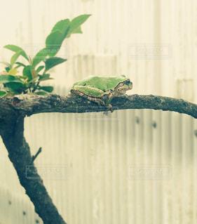 木の枝にアマガエルの写真・画像素材[852821]