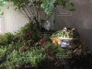 ベルツノガエルの飼育の写真・画像素材[852841]