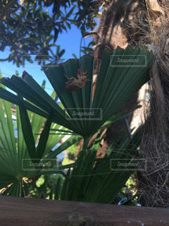 ヤシの木の写真・画像素材[852852]