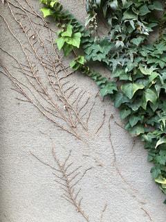 蔦の壁の写真・画像素材[853122]