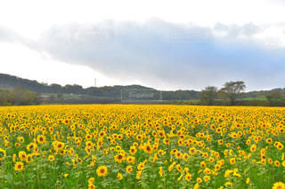 フィールド内の黄色の花の写真・画像素材[853021]