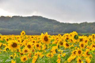 フィールド内の黄色の花の写真・画像素材[853022]