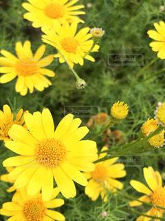 黄色の花の束の写真・画像素材[1057749]