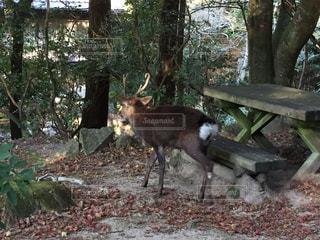 秋の宮島、鹿の写真・画像素材[876305]