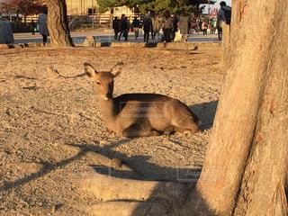 宮島の鹿の写真・画像素材[876314]