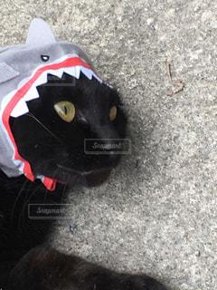 猫(サメの被り物)の写真・画像素材[856937]