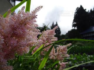 ピンクの花の写真・画像素材[871660]