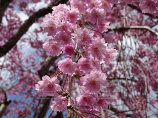 桜の写真・画像素材[871694]