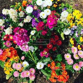 かわいい小花の寄せ植えの写真・画像素材[965534]