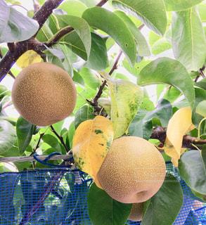 富山の梨畑の写真・画像素材[1370153]