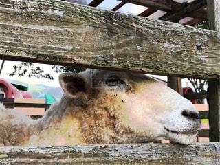 羊の写真・画像素材[855104]