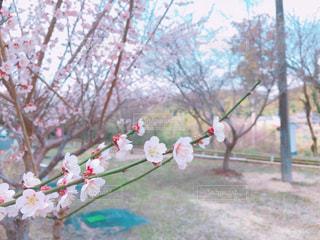 桜の花の写真・画像素材[1064210]