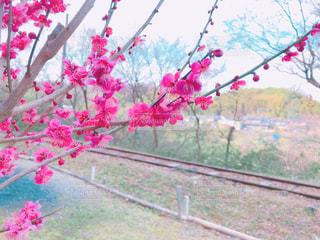 梅の花の写真・画像素材[1064211]