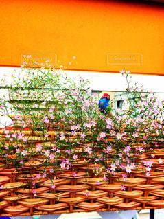 かすみ草の写真・画像素材[855135]