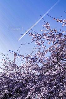飛行機雲と桜の写真・画像素材[1062463]