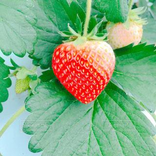 Strawberryの写真・画像素材[855513]