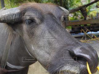 近くにその口を開いて牛のアップの写真・画像素材[1011535]