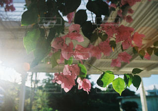 ピンクのお花の写真・画像素材[856155]