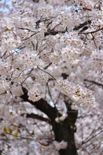 昼桜の写真・画像素材[1097743]